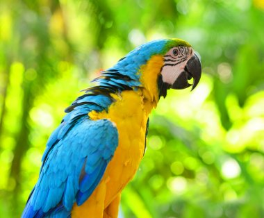 Macaw in nature