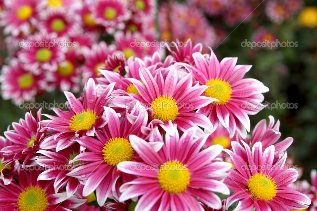 фото осінні квіти