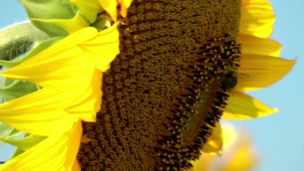 včela sběru pylu
