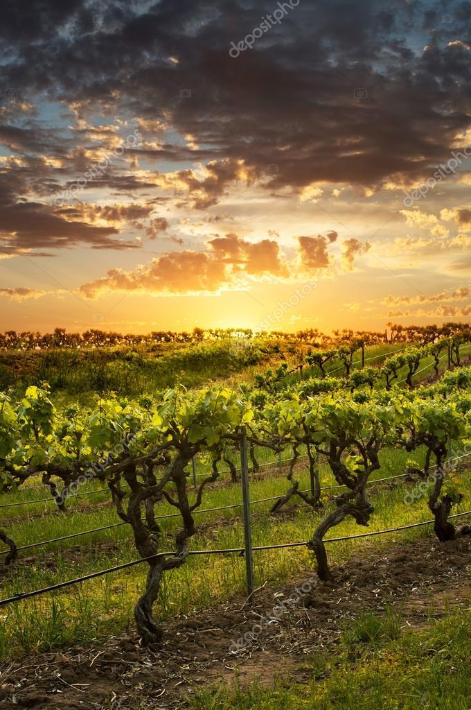 Barossa Vineyards at sunset