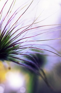 Flower hellebore close-up