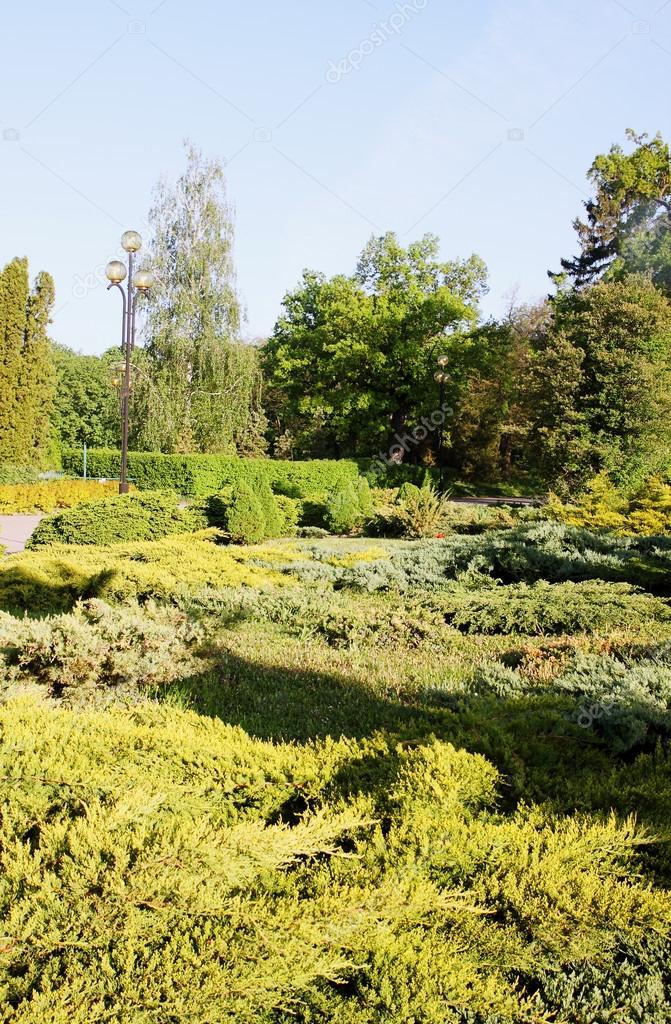Garden coniferous evergreen
