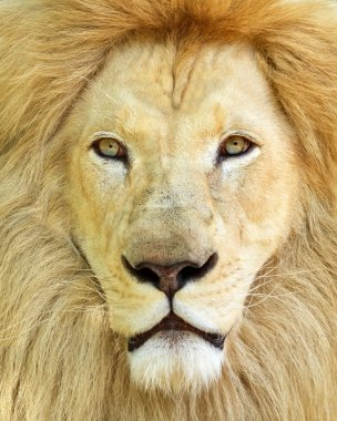 Portrait of white African male lion