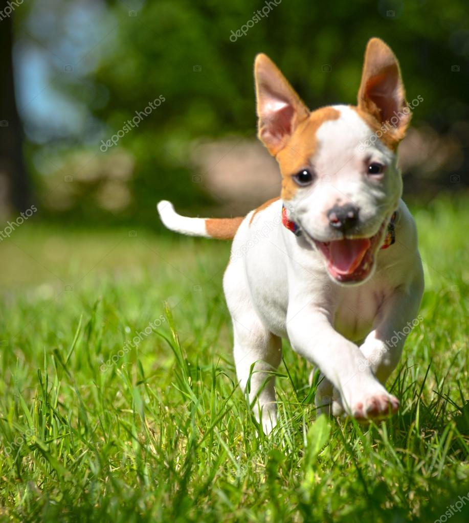 Cute Stafford puppy running on field