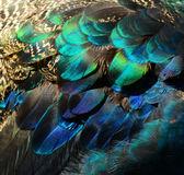 barevné paví peří