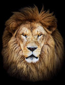 Fotografie Portrait of huge beautiful male African lion against black backg