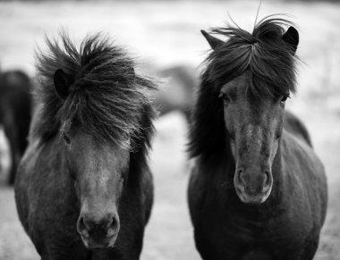 Portrait of Icelandic horses in black and white
