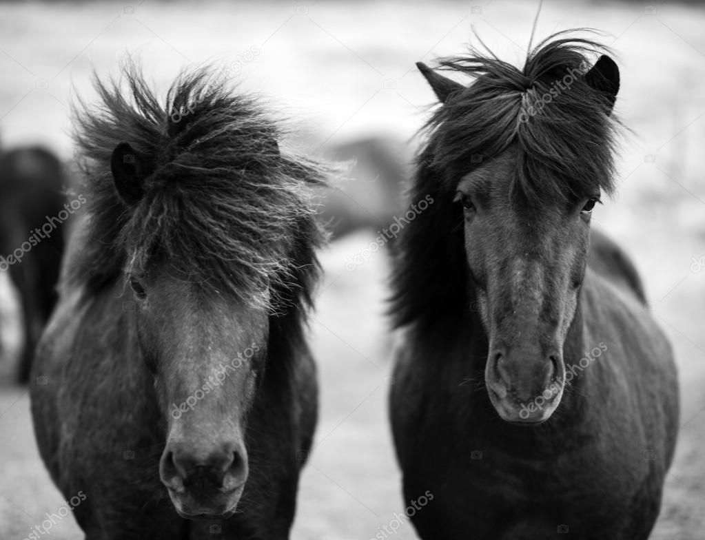 Portrait of Icelandic horses in black and white
