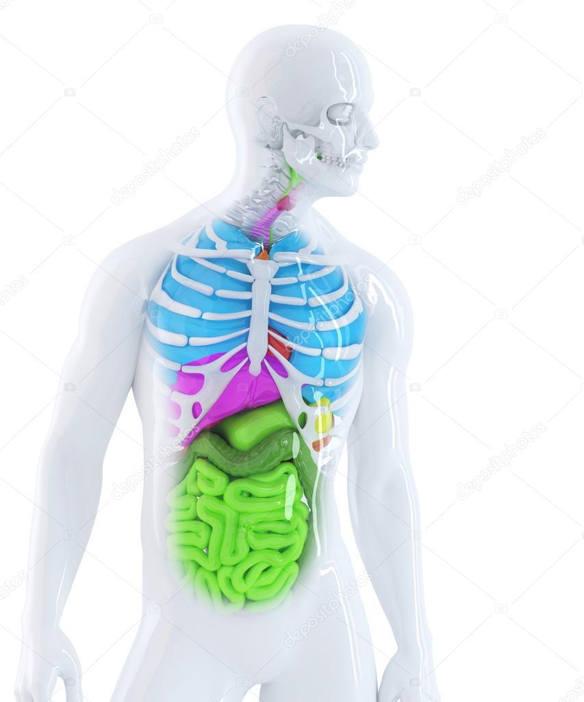 menschliche Anatomie — Stockfoto © KirillM #46373523