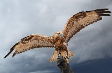 falcon has spread wings.