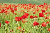Poppy field with bush and blue sky