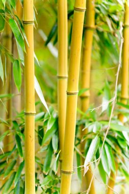 Fresh Bamboo forest