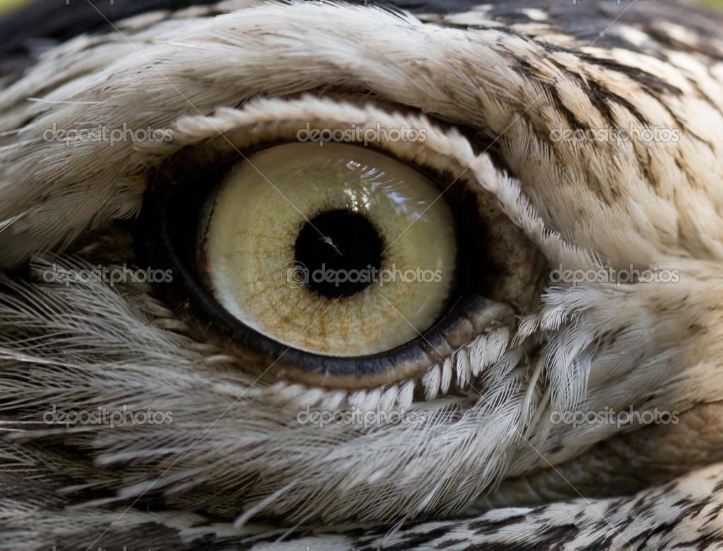 Image result for Kestrel bird eyes