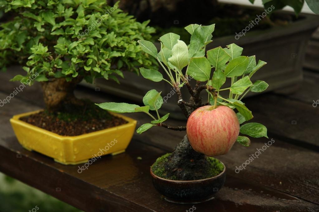 Bonsai apple tree in a garden