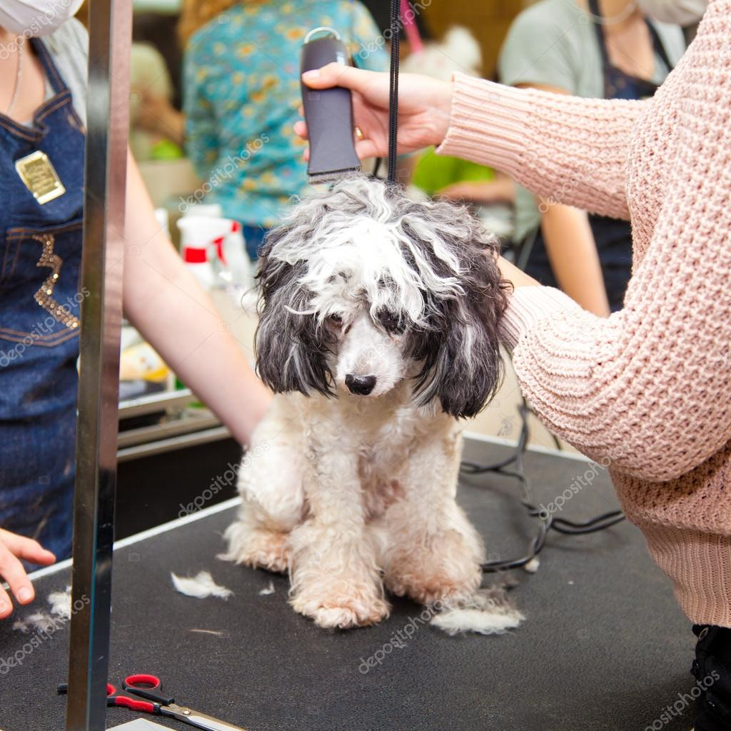 Dog poodle cut their hair in a beauty salon. Small breeds.