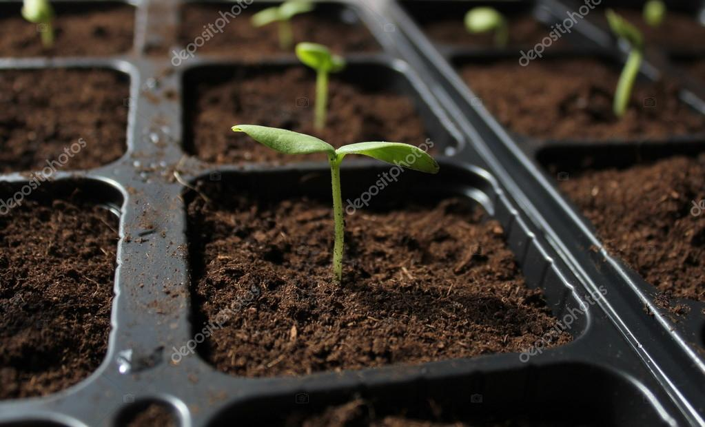Cucumber sprouts in ground