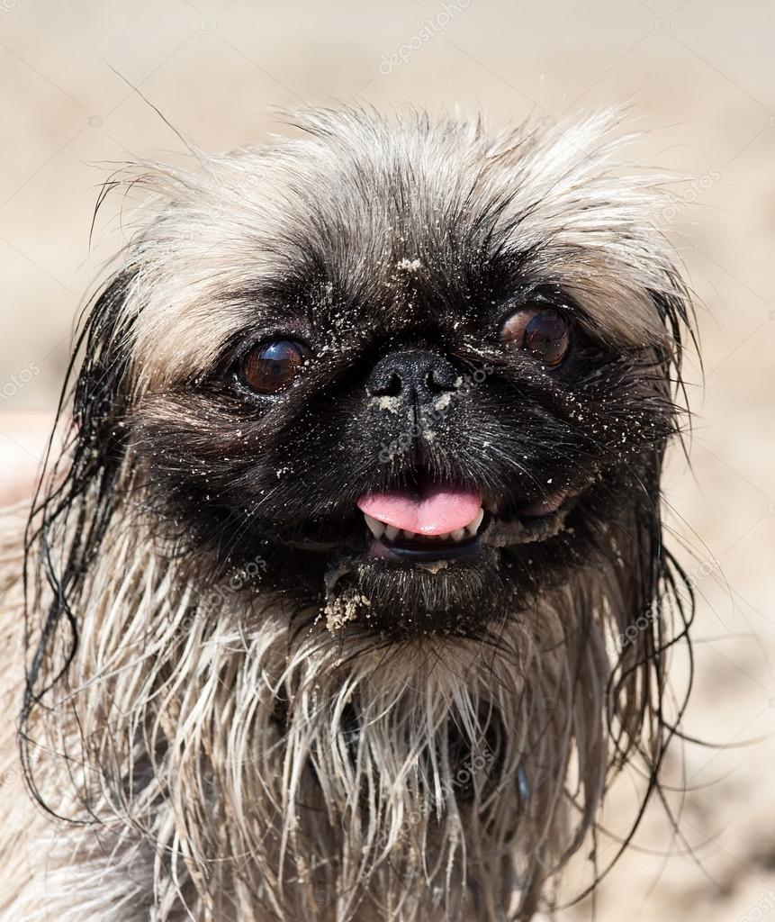 Pekinese Hund Stockfoto Maratr 27750859