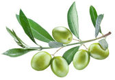 Zweig des Olivenbaumes mit grünen Oliven drauf