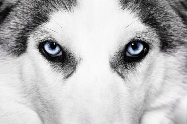 Close-up shot of husky dog