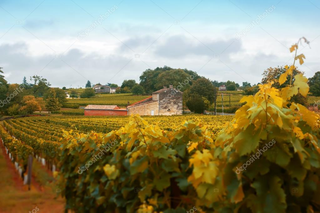 Wine landscape by autumn