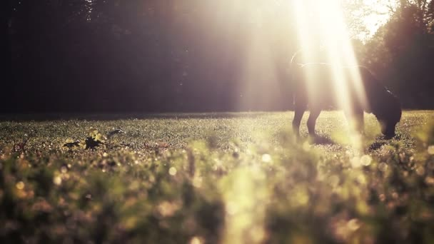 Labrador playing on meadow in early morning sun rays