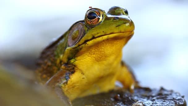 Grüner Frosch (rana clamitans))