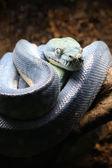 Fotografia pitone blu sullalbero