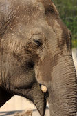 Fotografie divoký slon