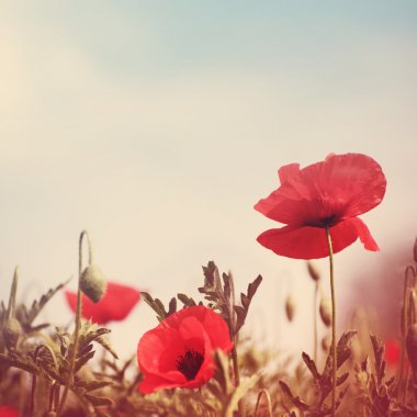 Poppy flowers vintage stylized