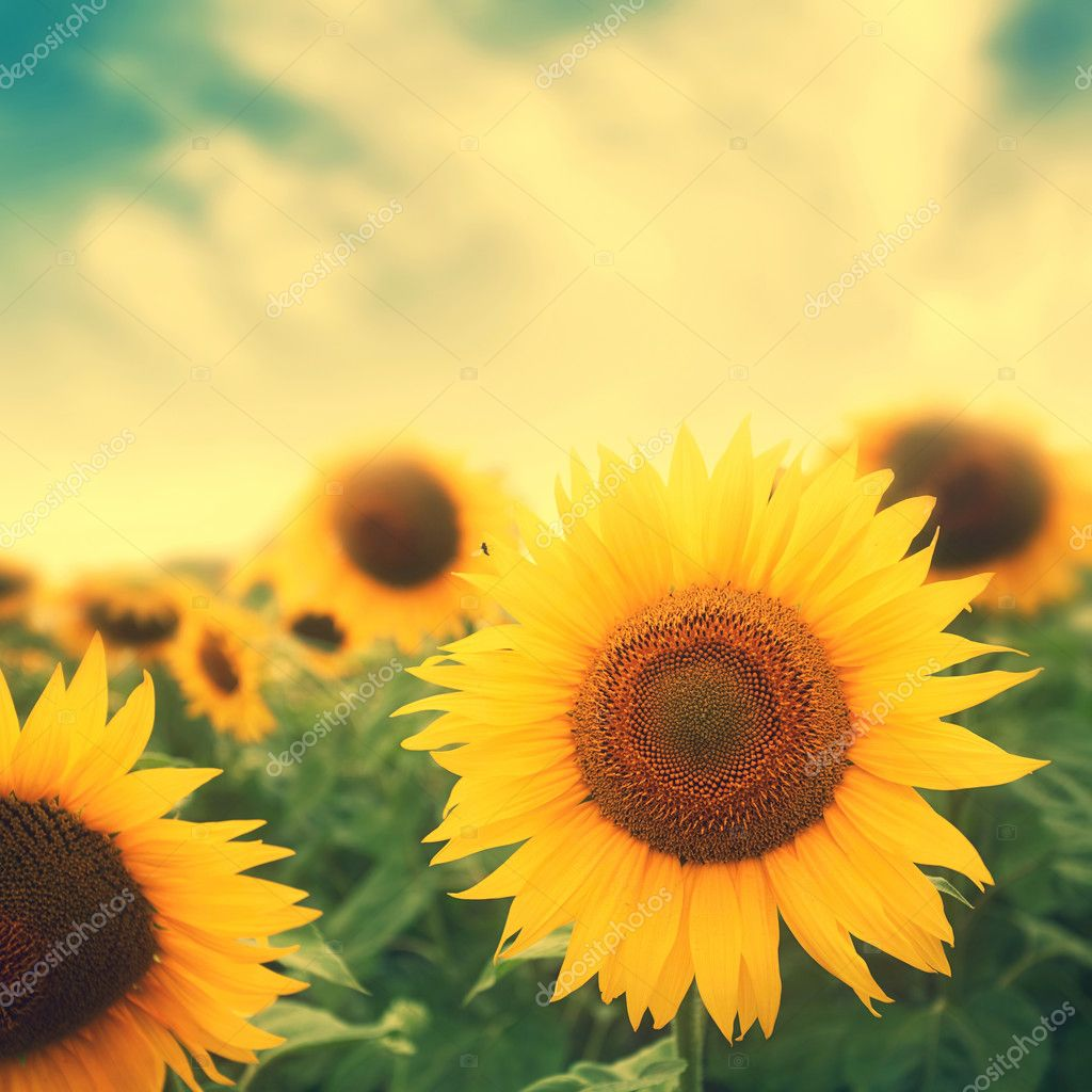 sun flowers in field