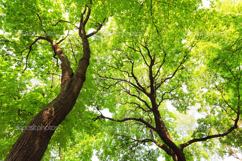 trees with green leaves canopy