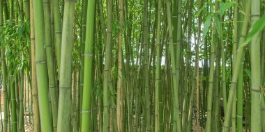 Bamboo picture - panorama