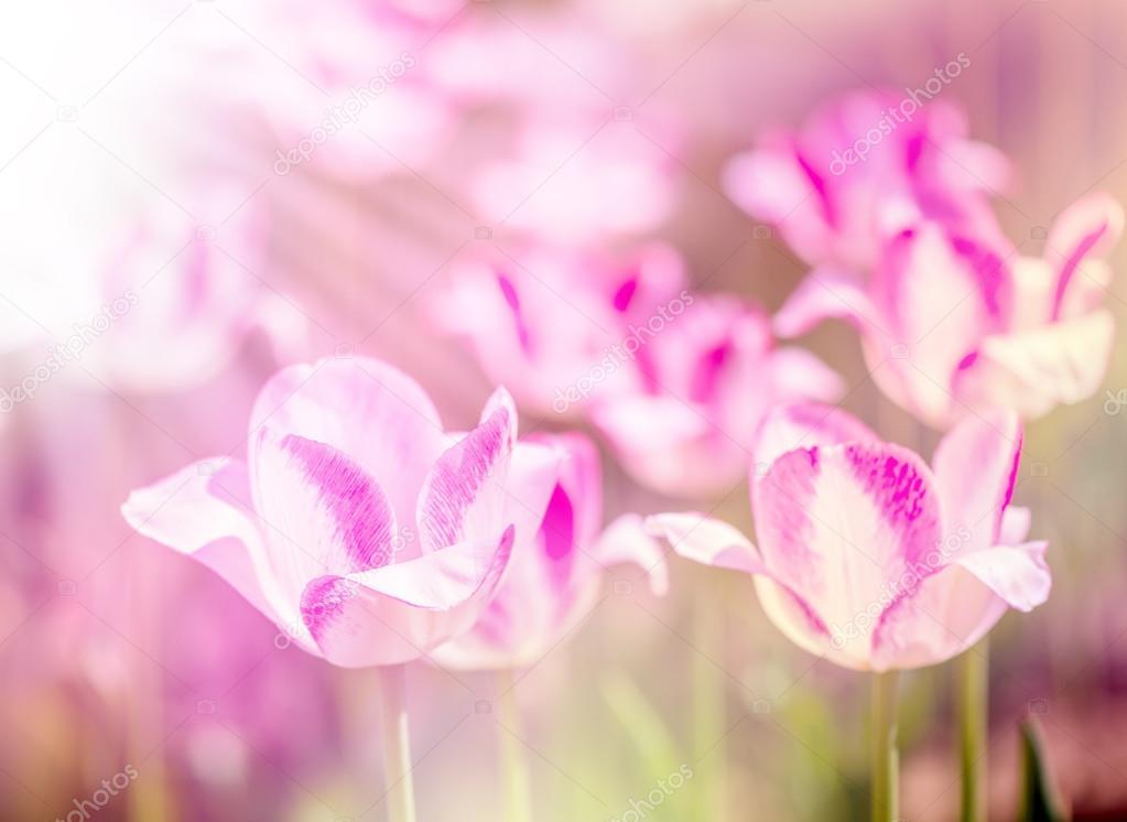 Defocus beautiful purple flowers - tulips