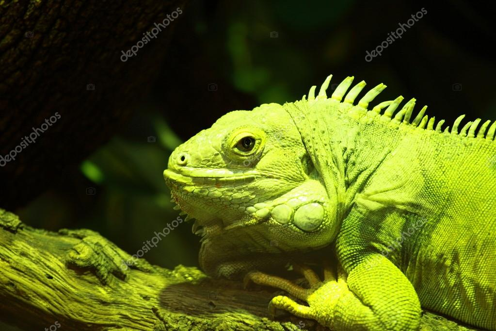 Green iguana on black background
