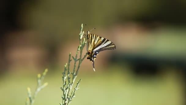 Óriás Pillangófélék fölött zöld blured háttér