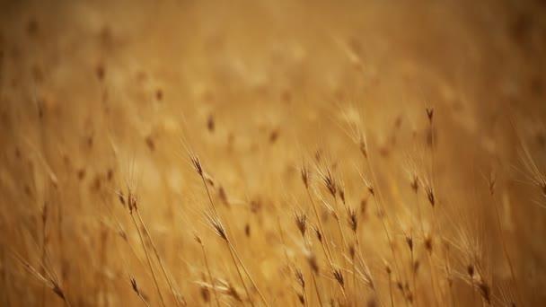 žlutá zrna připravená na sklizeň na poli