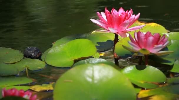 jediný fialová voda lily květina plovoucí v lily rybník
