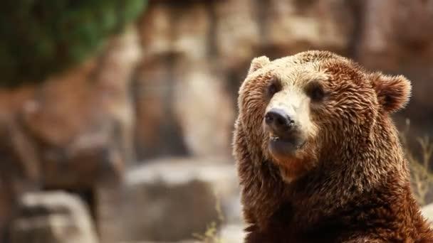 medvěd hnědý hledá jídlo