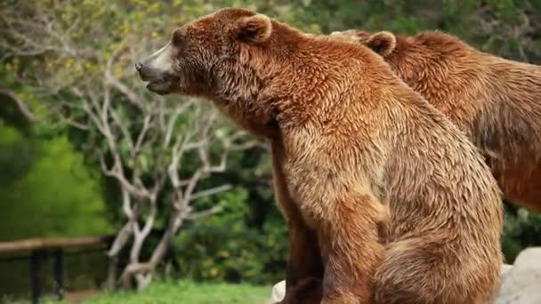 Barna medve keres élelmiszer
