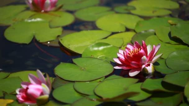 Leknín Fialový květ plovoucí v s liliemi