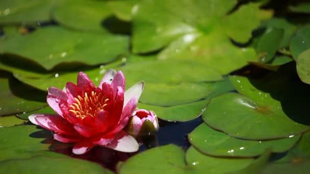 Lila víz liliom virág úszó lily Pond
