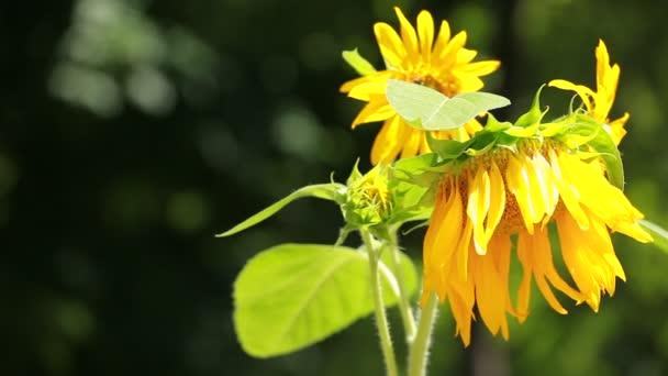 Krásné slunečnice se zelenými listy