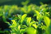 Krajina zelené čajové plantáže. Munnar, kerala, Indie
