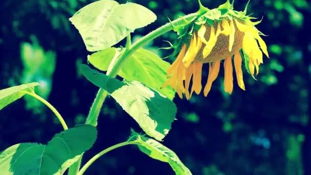 Velká louka slunečnice. Design přírodní