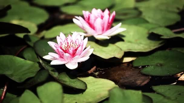 Lotus flower vinobraní pozadí