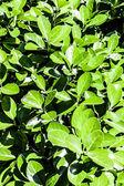 čerstvé a zelené listy