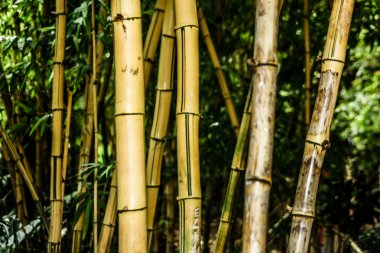 beautiful green bamboo forest