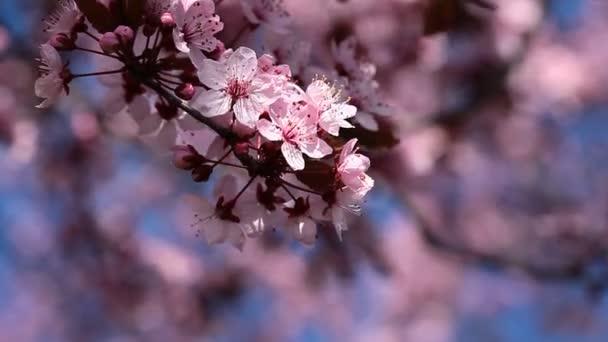 květy Třešňové květy na jarní den z japonské zahrady