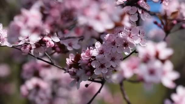 Flowers of the cherry blossoms on a spring day from japan garden