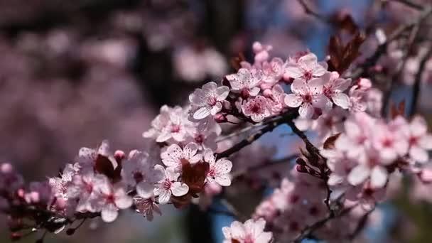 A cseresznye virágok a tavasz, a japán kert, virágok
